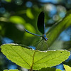 Ebony Jewelwing Damselfly (male)