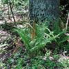 Cinnamon Fern wtih Stalk-like Spore Bodies