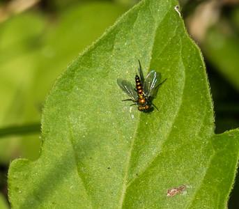 Long-legged Fly (Chrysosoma sp.), Occoquan Regional Park, VA
