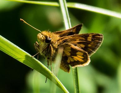 Peck's Skipper, Occoquan Regional Park, VA