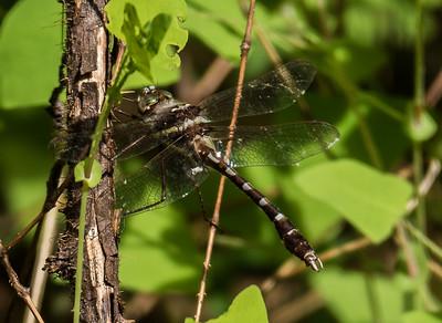Stream Cruiser (male), Occoquan Regional Park, VA