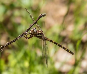 Brown Spiketail, Occoquan Regional Park, VA