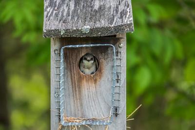 Tree Swallow, Occoquan Regional Park, VA