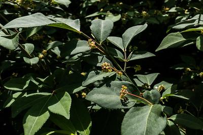 Strawberry Bush (Euonymous americanus), Occoquan Regional Park, VA