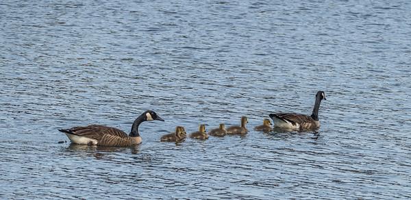 Canada Geese, Occoquan Regional Park, VA