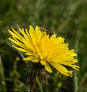 Flower fly sp.?, Occoquan Regional Park, VA