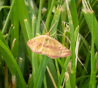 Chickweed Geometer Moth (Haematopis grataria)