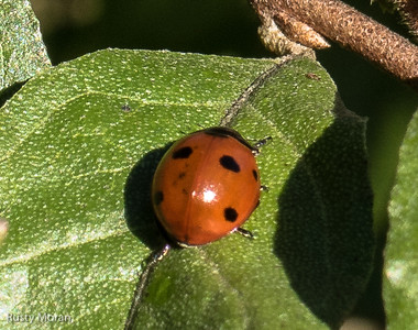 Seven-spotted Lady Beetle (Coccinella novemnotata)