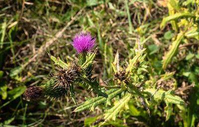 Pature Thistle