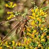 Paper Wasp (Polistes sp.)