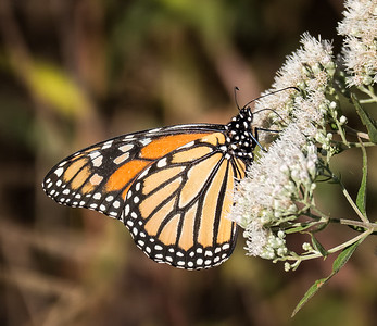 Monarch (female) (view 1 of 2)