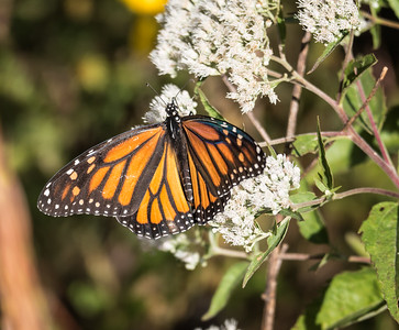 Monarch (female) (view 2 of 2)