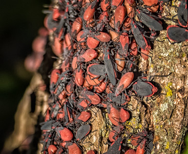 Red-shouldered Bug (Jadera haematoloma)