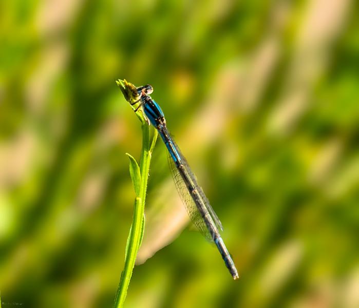 Familiar Bluet (female)