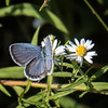 Eastern Tailed-blue (male)