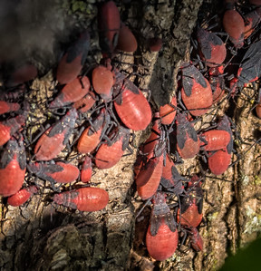 Red-shouldered Bug (Jadera haematolloma) nymphs