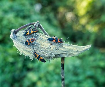 Large Milkweed Bug (Oncopeltus fasciatus)