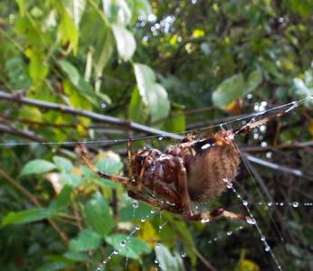 Orb Weaver Spider 1a