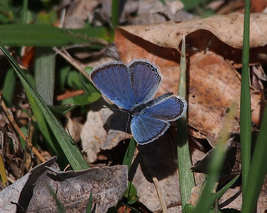 Eastern Tailed-blue, female