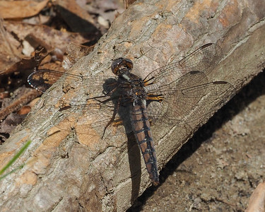 Blue Corporal, female