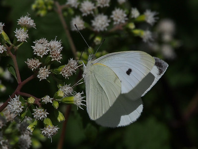 Cabbage White, female