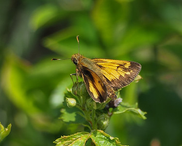 Hobomok Skipper, male