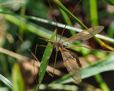 Common European Crane Fly