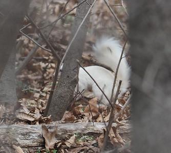 Albino Eastern Grey Squirrel