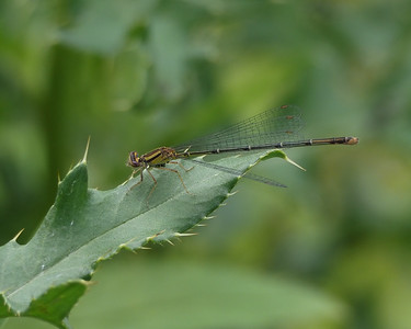 Orange Bluet, female