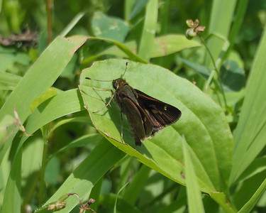 Little Glassywing, female