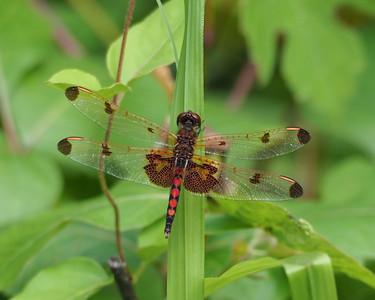Calico Pennant, male