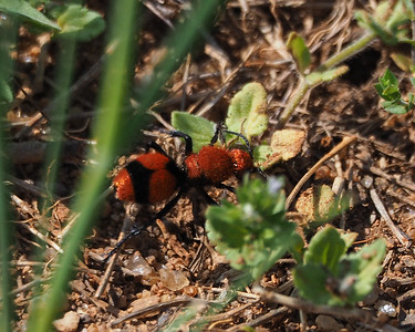 Red Velvet Ant - Dasymutilla occidentalis