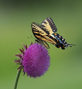 Tiger Swallowtail, female