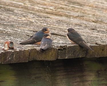 Barn Swallow conference