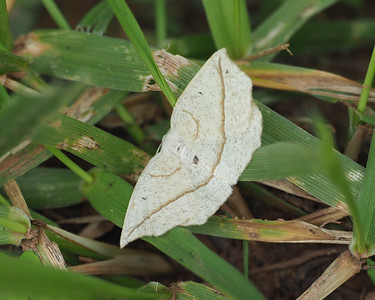 Confused Eusarca Moth