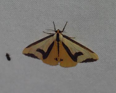 Clymene Moth - 8107