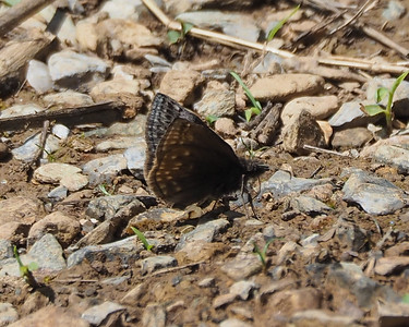 Juvenal's Duskywing, female