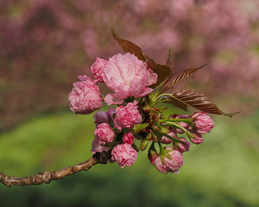 Kwanzan Cherry