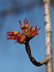 Red Maple, female flower