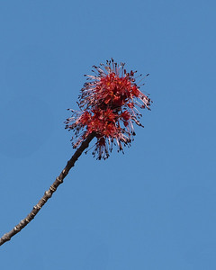 Red Maple, male flower