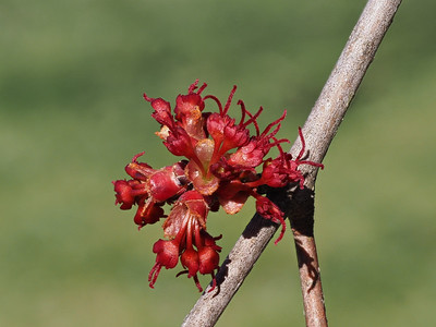 Silver Maple, female flower