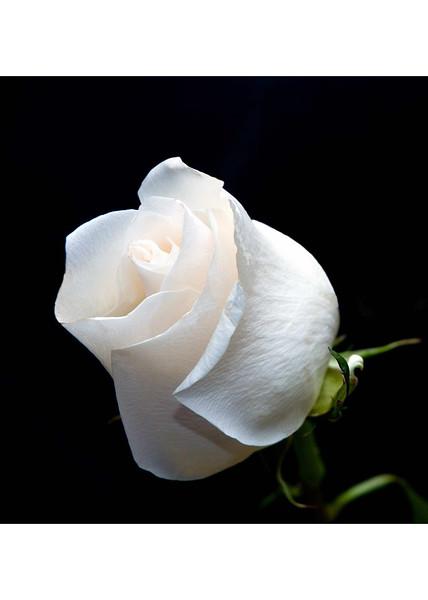 print-white-rose-2