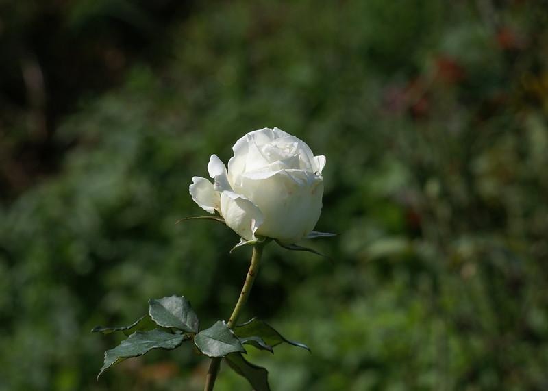 print-White-rose-002