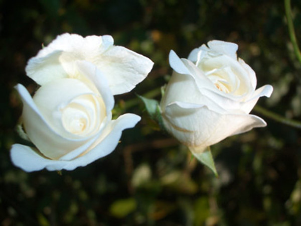 2-white-roses-print