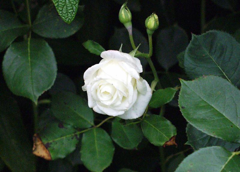 print-white-rose-5