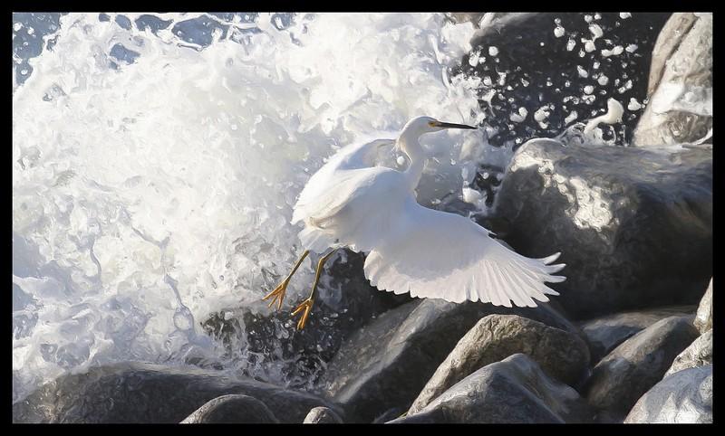 Snowy Egret in black floater frame.