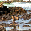 Bucks in the Tide Pools