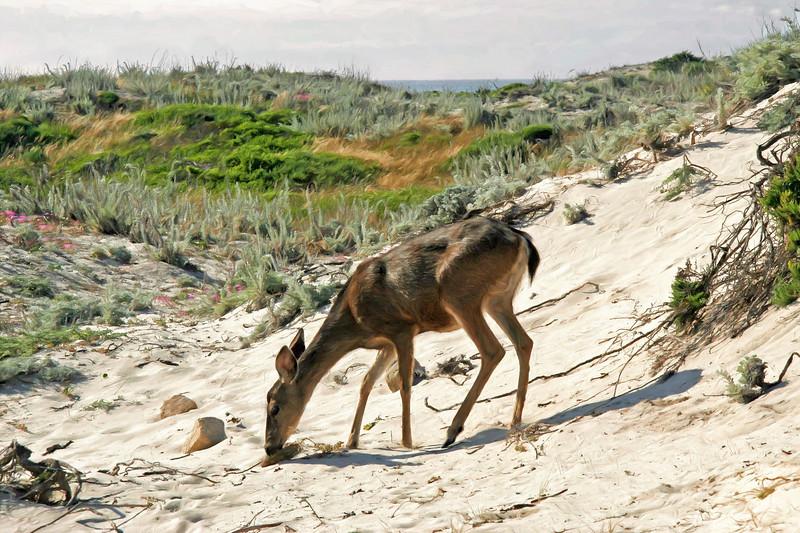 Asilomar Deer