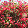 But first we will stop to enjoy the bouganvillea all around the entrance.