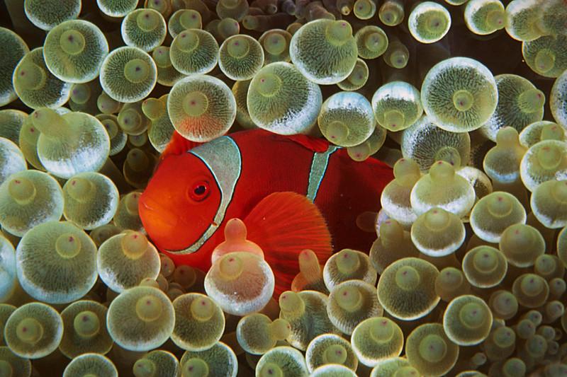 Spinecheek anemone fish:  Solomon Islands